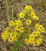 Ragwort (Jacoaea vulgaris )